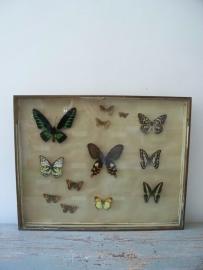Grote oude vlindervitrine SOLD