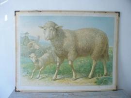 Oude schoolplaat met schapen SOLD
