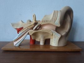 Anatomische model van het oor SOLD