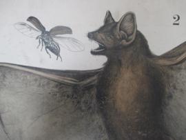 Oude schoolplaat met de vleermuis SOLD