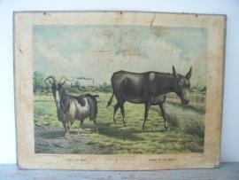 Oude schoolplaat met ezel en bok