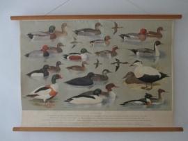 Oude schoolplaat met watervogels SOLD
