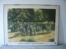 Oude schoolplaat met zebra`s