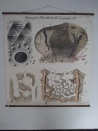 Oude anatomische schoolplaat van de spons SOLD