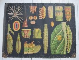 Antieke schoolplaat met de rups SOLD