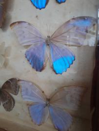 Oude vlindervitrine