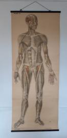 Oude anatomische schoolplaat ( spieren) SOLD