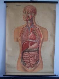 Oude anatomische schoolplaat ( lichaam) SOLD