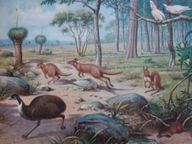 Oude Koekkoek schoolplaat Australie