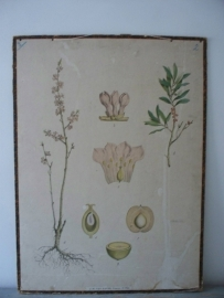 Oude botanische schoolplaat SOLD
