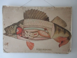 Oude anatomische schoolplaat van de vis SOLD