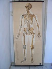 Oude anatomische schoolplaat ( skelet ) SOLD