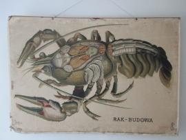 Oude anatomische schoolplaat van de kreeft SOLD