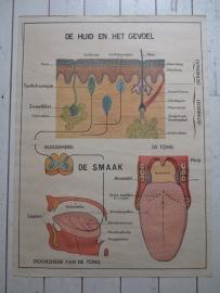 Oude anatomische schoolplaat (Dubbelzijdig ) SOLD