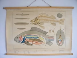 Oude schoolplaat met zoetwatervissen SOLD
