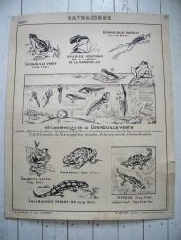 Oude schoolplaat kikkers en amfibieen SOLD
