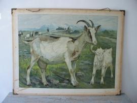 Oude schoolplaat met geitjes SOLD