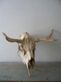 Schedel van een eland SOLD
