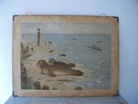 Oude schoolplaat met zeehonden SOLD