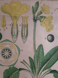 Oude botanisch schoolplaat bloem