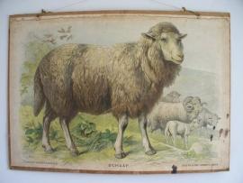Oude schoolplaat met schaap SOLD