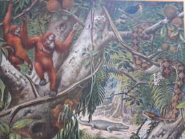 Oude Koekkoek schoolplaat orang-oetans