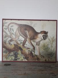 Oude schoolplaat met aap