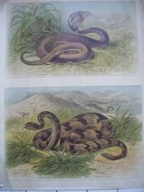 Antieke schoolplaat met de slang