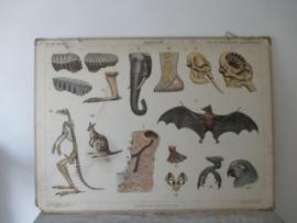 Oude schoolplaat met de rimboe van Australie