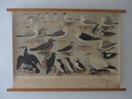 Oude schoolplaat met zeevogels SOLD