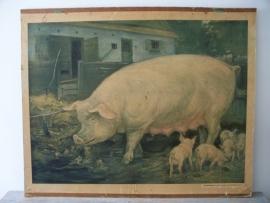 Oude schoolplaat met varkens