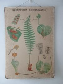 Oude botanische schoolplaat met varen SOLD