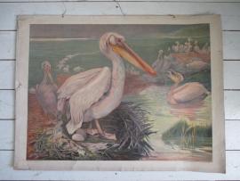 Oude schoolplaat met pelikanen
