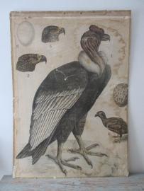 Antieke schoolplaat met de gier SOLD