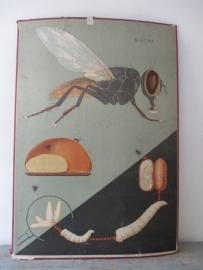 Antieke schoolplaat met de vlieg SOLD