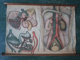 Oude anatomische schoolplaat ( buikholte)