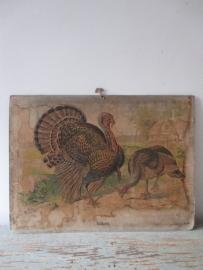 Antieke schoolplaat met de kalkoen