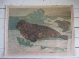 Oude schoolplaat met zeehonden