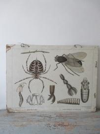 Antieke schoolplaat met de spin en de vlieg