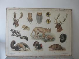 Antieke schoolplaat met Noord Amerikaanse woudbewoners