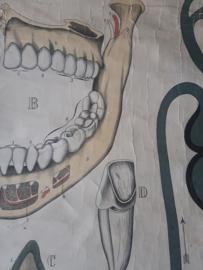 Oude anatomische schoolplaat ( bloedsomloop gebit ) SOLD