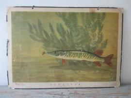 Oude schoolplaat met vis snoek