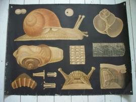 Antieke schoolplaat met de slak SOLD