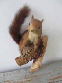 Oude opgezette eekhoorn SOLD