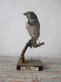 Oud vogeltje Mus SOLD