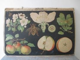 Oude botanische schoolplaat met appelbloesem  SOLD