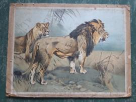 Oude schoolplaat met leeuwen