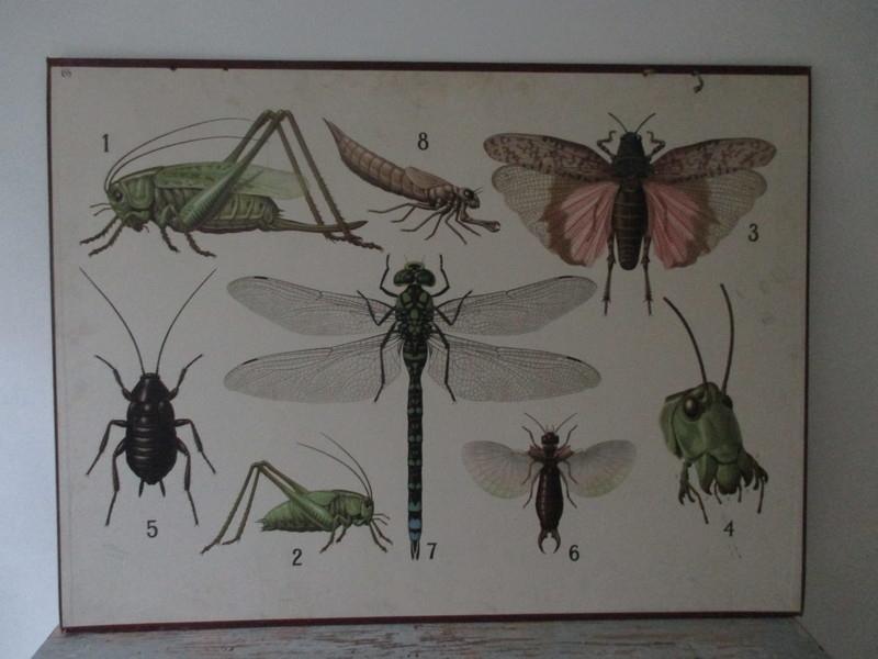 Oude schoolplaat libelle / insekten SOLD
