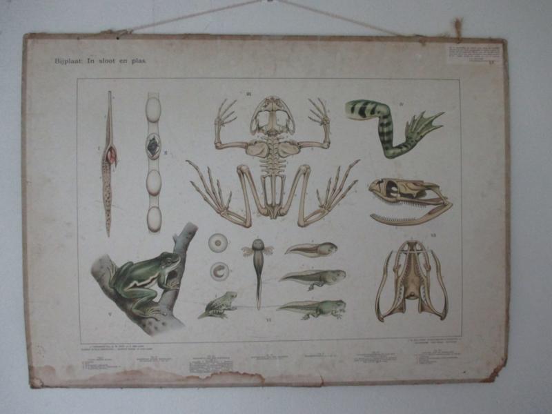 Oude schoolplaat met de kikker