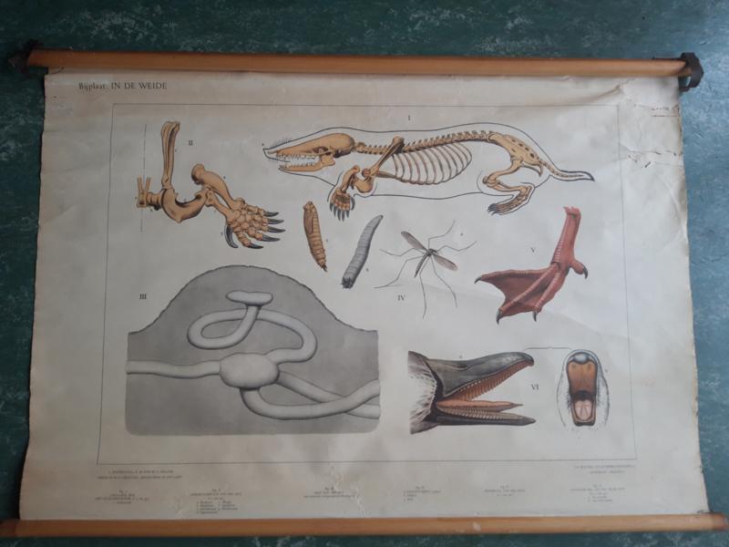 Oude schoolplaat met skelet mol